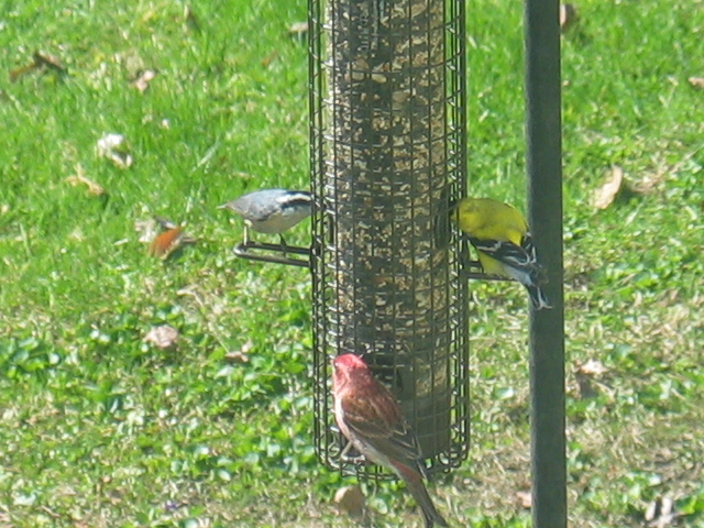 White-breasted Nuthatch, American Goldfinch and Cardinal